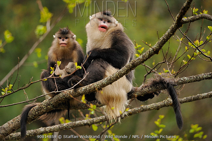 Yunnan Snub-nosed monkey (Rhinopithecus bieti) two adults, one with a baby, Ta Chen NP, Yunnan province, China