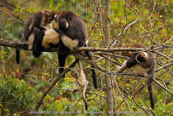 Yunnan Snub-nosed monkey (Rhinopithecus bieti) group with adults grooming, and a baby hanging from a branch, Ta Chen NP, Yunnan province, China