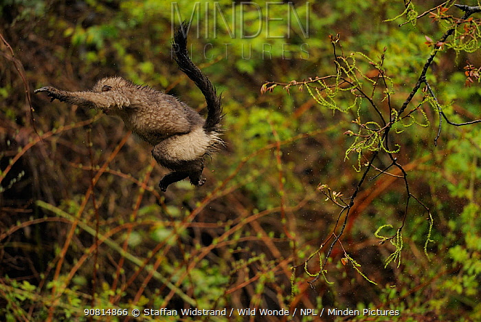 Yunnan Snub-nosed monkey (Rhinopithecus bieti) jumping from tree to tree, Ta Chen NP, Yunnan province, China