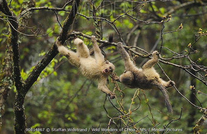 Yunnan Snub-nosed monkey (Rhinopithecus bieti) young ones interacting, Ta Chen NP, Yunnan province, China