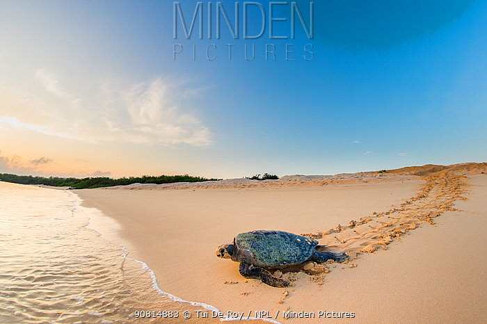 Green turtle (Chelonia mydas), female returning to the sea after egg laying, Puerto Pajas, Isabela Island, Galapagos