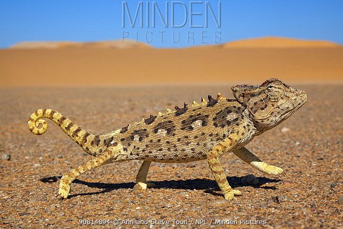Namaqua chameleon (Chamaeleo namaquensis), Namib Desert, Namibia, April