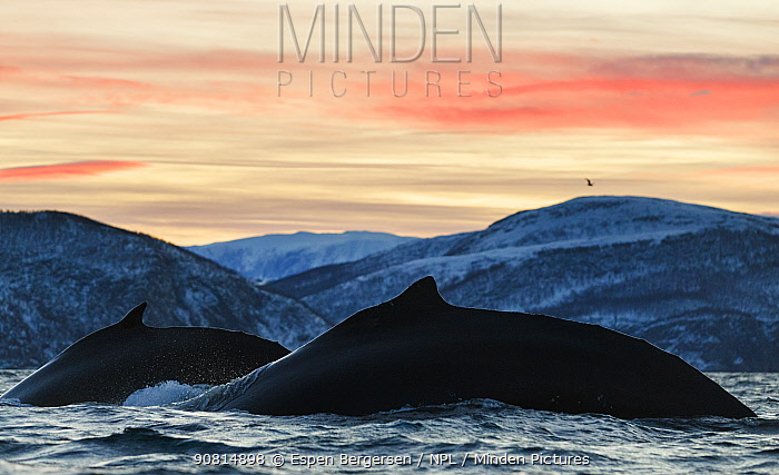 Humpback whales (Megaptera novaeangliae) showing the humpback when they dive. Kvanangen, Troms, Norway. December