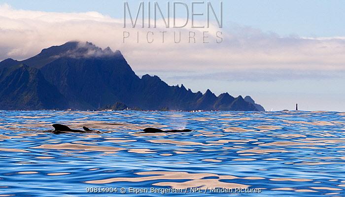 Long-finned Pilot Whale (Globicephala melas). Andfjorden, Andoya, Norway. July