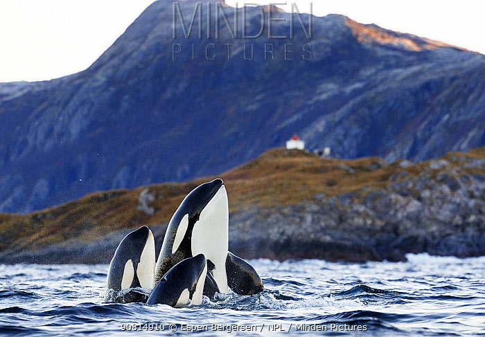 Killer whales / orcas (Orcinus orca) two spyhopping. Kvaloya, Troms, Norway October