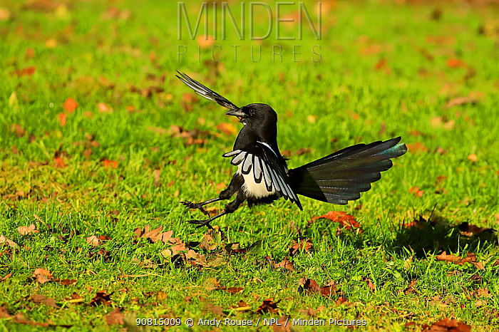 Magpie (Pica pica) flying. UK. October.