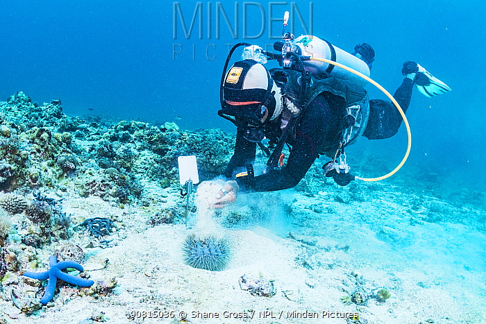 Philippine dive guide looking at Crown-of-thorns sea star (Acanthaster planci) Malapascua, Philippines.