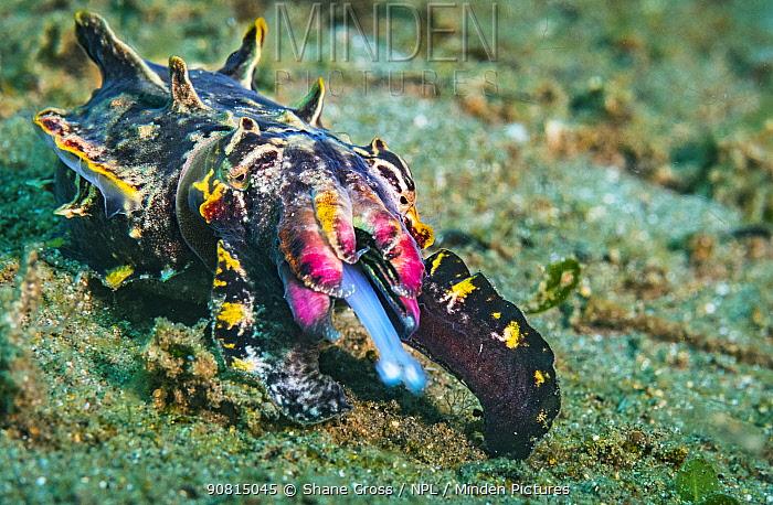 Flamboyant cuttlefish (Metasepia pfefferi) female hunting on dark sand off Anilao, Philippines.