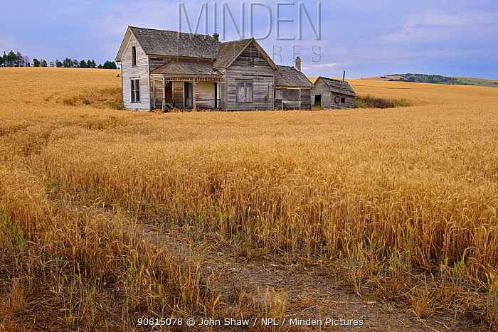 Abandoned house in middle of a wheat field. Palouse farming area, south eastern Washington, USA, August.