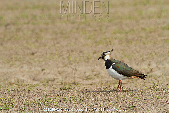 Lapwing (Vanellus vanellus) in cultivated machair with Black oats (Avena strigosa) North Uist, Scotland, UK.