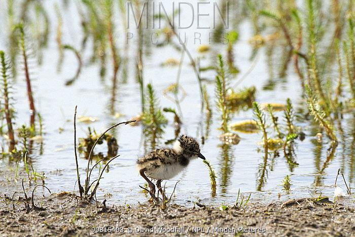 Young lapwing (Vanellus vanellus) in marsh within machair, Scotland, UK, June.
