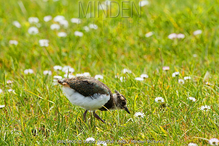 Young lapwing (Vanellus vanellus) in flowering machair, Scotland, UK, June.
