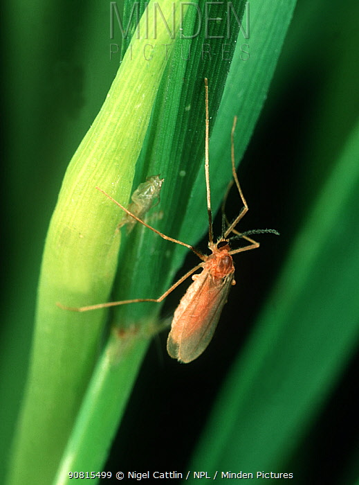 Minden Pictures Stock Photos Asian Rice Gall Midge Orseolia Oryza Adult Of Major Pest On Rice Oryza Sativa Luzon Philippines
