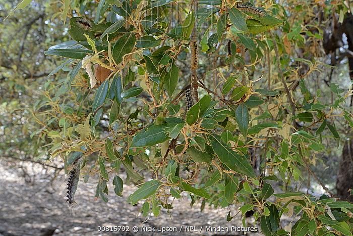 Gypsy moth caterpillars (Lymantria dispar) feeding on and decimating Holm oak leaves (Quercus ilex), Bacu Goloritze ravine, Baunei, Sardinia, Italy, May.