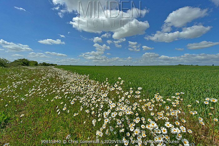 Herb rich conservation margin around farmland with Ox-eye daisies (Leucanthemum vulgare) at RSPB's Hope Farm, Cambridgeshire, UK, May 2011