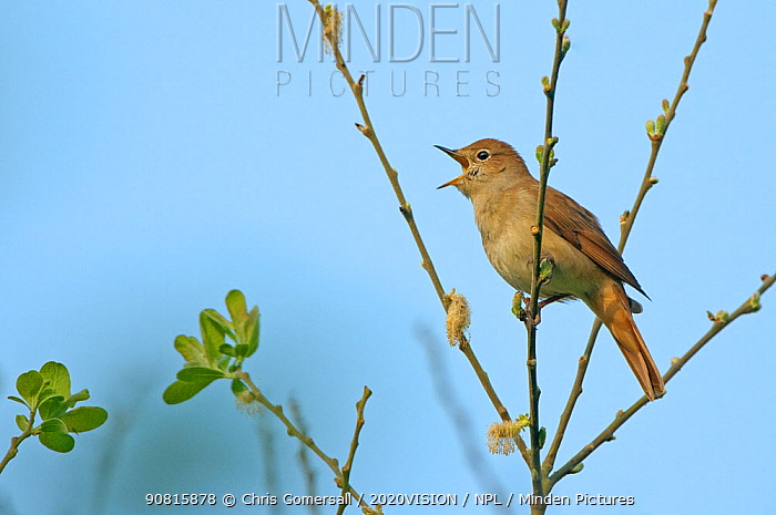 Common nightingale (Luscinia megarhynchos) adult perched, singing, Cambridgeshire, UK, April. 2020VISION Book Plate. Did you know? A nightingale's song can consist of up to 260 variations.