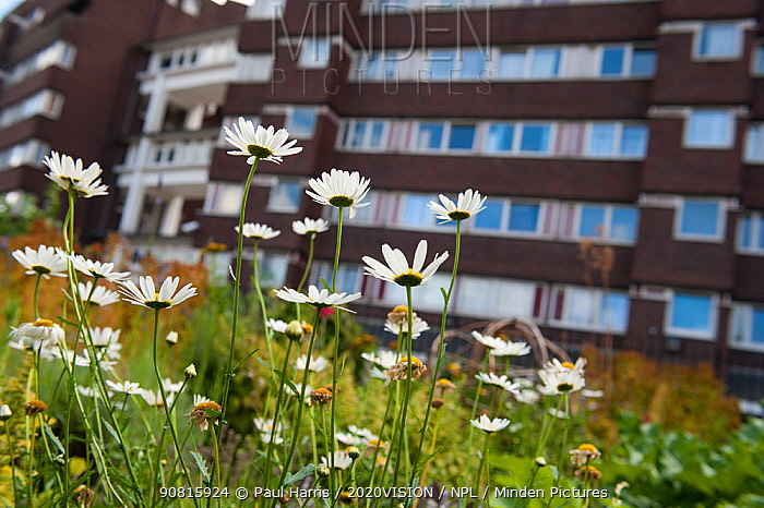 Ox-eye daisies (Leucanthemum vulgare) growing in Evelyn Community Gardens, Deptford, London, England, UK, August. 2020VISION Book Plate. Did you know? Daisies are very successful in urban habitats due to being fast-growing and environmentally resistant.