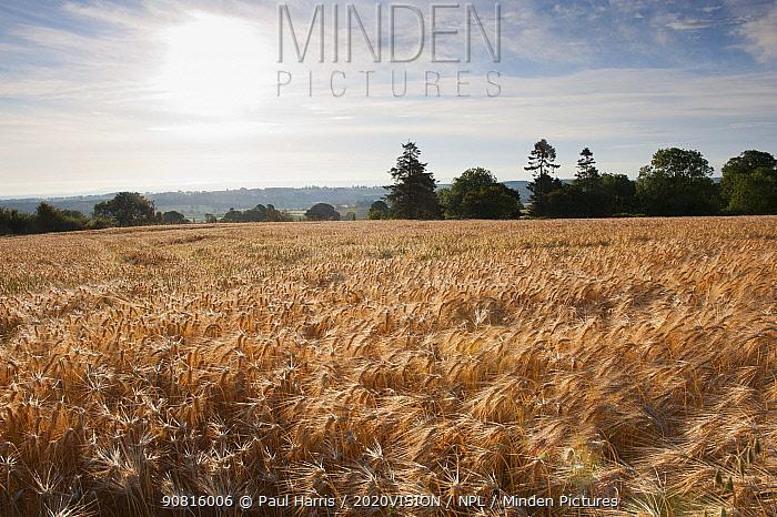 Ripe Barley crop in field, Haregill Lodge Farm, Ellingstring, North Yorkshire, England, UK, July.