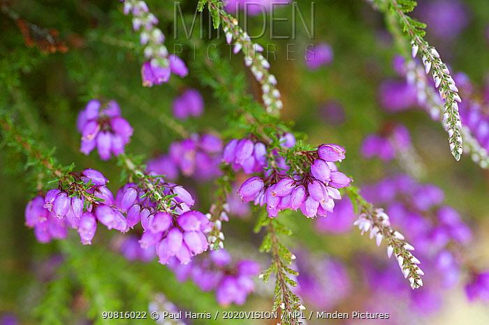 Close up of flowering Coomon heath / Ling  (Calluna vulgaris) and pink Bell Heather (Erica cinerea), Caesar's Camp, Fleet, Hampshire, England, UK, August.