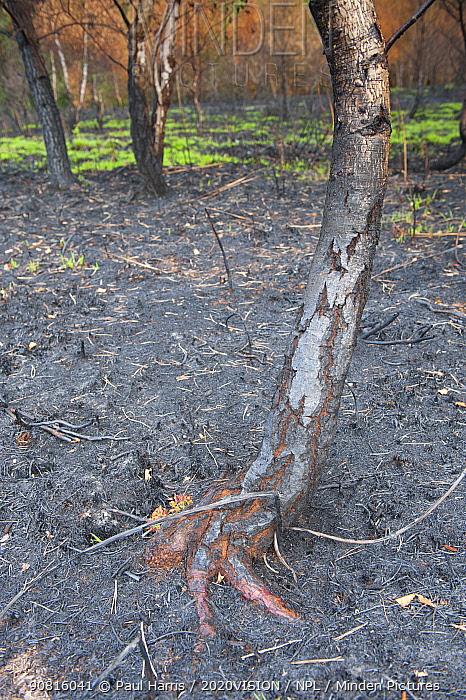 Recently burnt heathland round Silver birch tree (Betula pendula), with some new growth, Caesar's Camp, Fleet, Hampshire, England, UK, May.