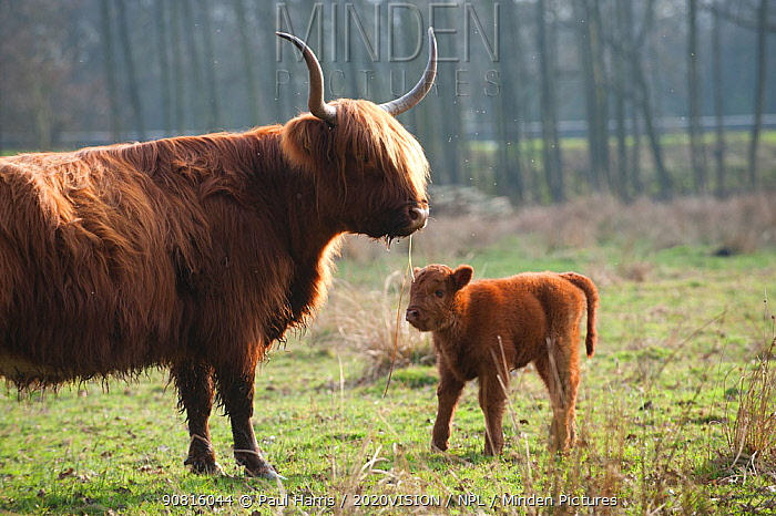 Highland cattle with calf, Foxlease and Ancells Meadows SSSI, Hampshire, England, UK, March.