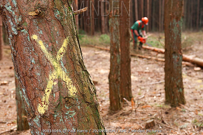 Selective felling of conifer trees in woodland, Caesar's Camp, Fleet, Hampshire, England, UK, March.