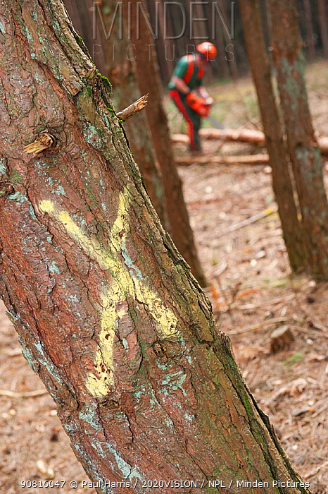 Tree marked for selective felling of conifer trees in woodland, Caesar's Camp, Fleet, Hampshire, England, UK, March.