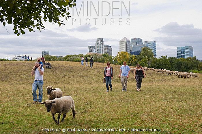 People walking through urban sheep pasture with Domestic sheep (Ovis aries), Mudchute Farm, Isle of Dogs, London, UK, August