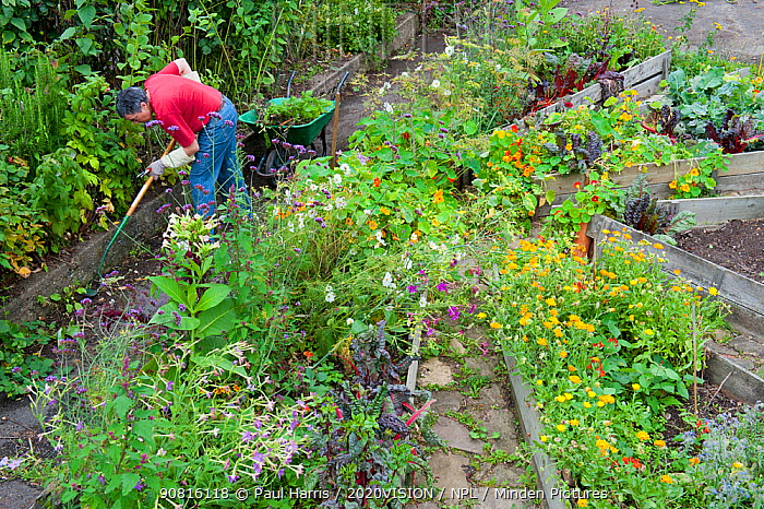 Woman clearing weeds from raised beds, Brockwell Park Community Garden, London, England, UK, August