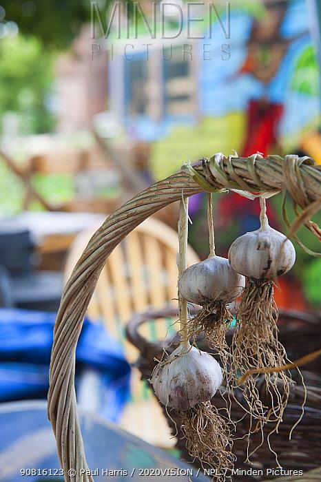 Garlic (Allium sativum) bulbs hanging from a vegetable basket handle, drying, Evelyn Community Gardens, Deptford, London, England, UK, September