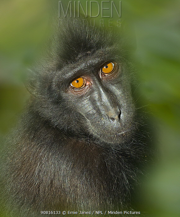 Celebes crested macaque (Macaca nigra) captive, with digitally added leaf pattern.
