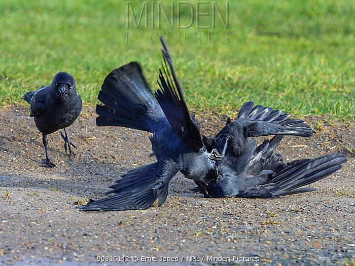 Jackdaw (Corvus monedula) fighting on farmland, Norfolk, England, UK, January.