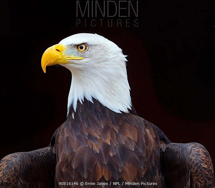 Bald eagle (Haliaeetus leucocephalus) portrait, captive, occurs in North America.