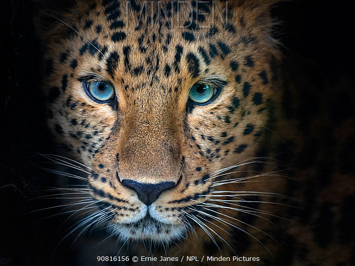 Amur leopard (Panthera pardus orientalis) captive, occurs in northern China and Russia. Digitally added shadows.