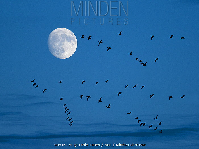 Brent geese (Branta bernicla) flying with moon, Titchwell, Norfolk, UK, December
