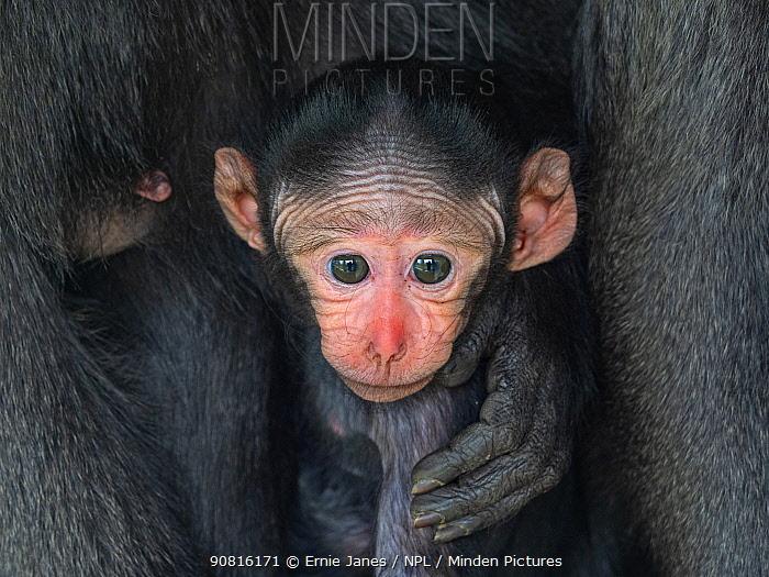 Celebes crested macaque (Macaca nigra) infant, captive.