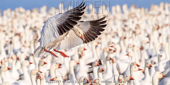 Snow goose (Chen caerulescens) landing into a tight packed flock on lake, Bosque del Apache National Wildlife Refuge, New Mexico, USA. January.