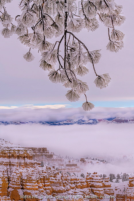 Conifer tree branch covered in snow and frost from winter snow storm. Bryce Canyon National Park, Utah, USA, January.