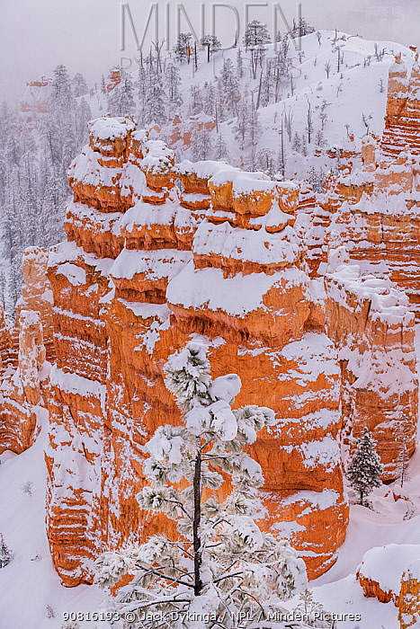Bryce Canyon National Park after winter snow storms caused heavy frost and snow to cover conifer trees. Bryce Canyon National Park, Utah, USA, January.