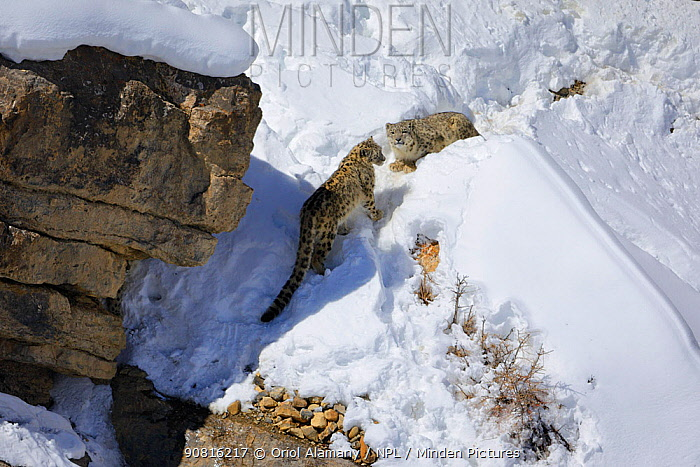 Snow leopard (Panthera uncia) female (hiding below the rock) with her two juveniles, in Spiti Valley, Cold Desert Biosphere Reserve, Himalaya, Himachal Pradesh, India, March