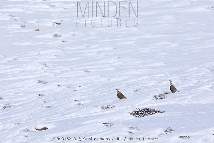 Himalayan snowcock (Tetraogallus himalayensis) in a mountain slope at 4,400 meters, Spiti Valley, Cold Desert Biosphere Reserve, Himalaya, Himachal Pradesh, India, March