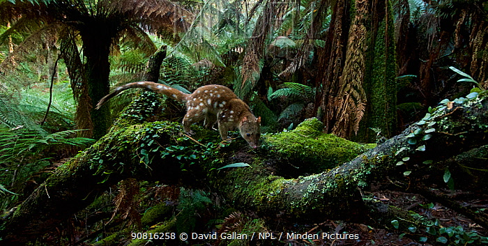 Spotted-tailed quoll (Dasyurus maculatus) scent marking in Monga National Park, New South Wales, Australia. Remote camera, triggered by movement. Highly Commended 2018 Wildlife Photographer Of The Year, Animals in their Environment category.