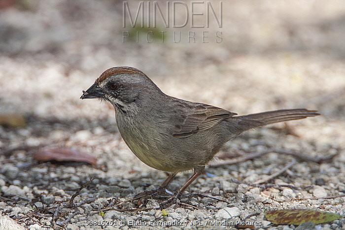 Zapata Sparrow (Torreornis inexpectata), Cuba. Vulnerable species.