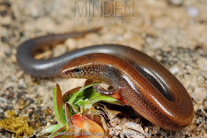 Lizard (Hakaria simonyi), Socotra, Yemen, endemic.