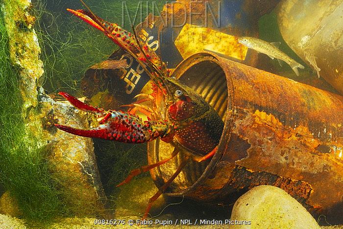 Red swamp crayfish (Procambarus clarcki), invasive species, captive, Italy, July.