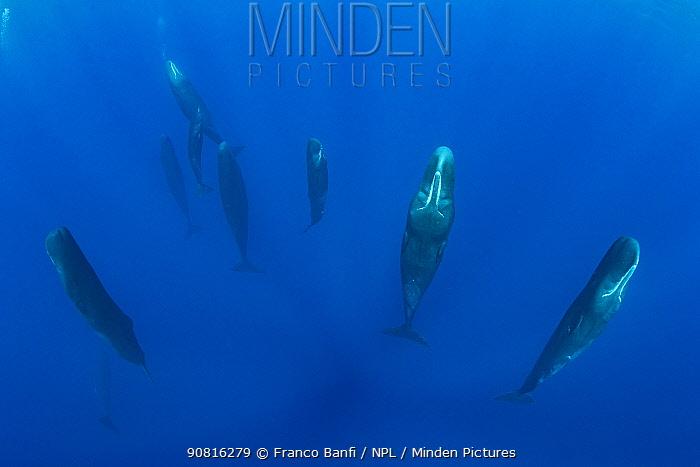 Sperm whale (Physeter macrocephalus) sleeping. Dominica, Caribbean Sea, Atlantic Ocean.