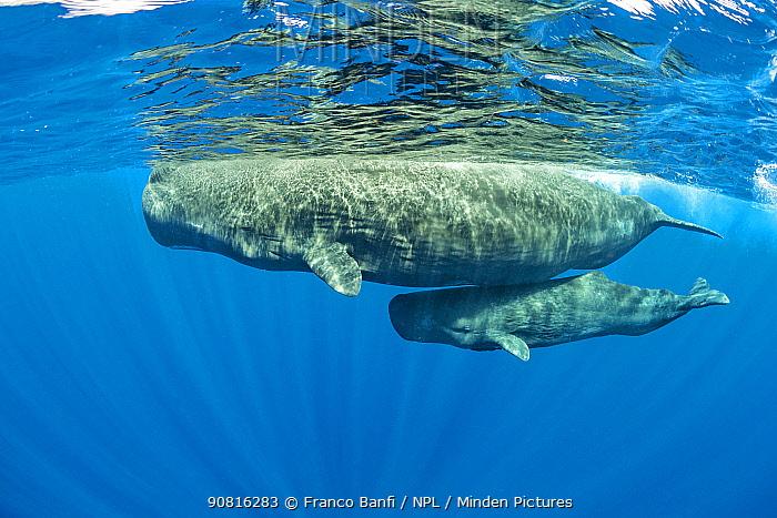 Sperm whale mother and calf, (Physeter macrocephalus), Dominica, Caribbean Sea, Atlantic Ocean.