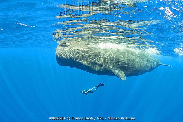 Freediver swimming with female Sperm whale (Physeter macrocephalus) Dominica, Caribbean Sea, Atlantic Ocean.