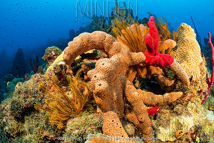 Reef covered with sponges, corals and feather stars, Dominica, Caribbean Sea, Atlantic Ocean