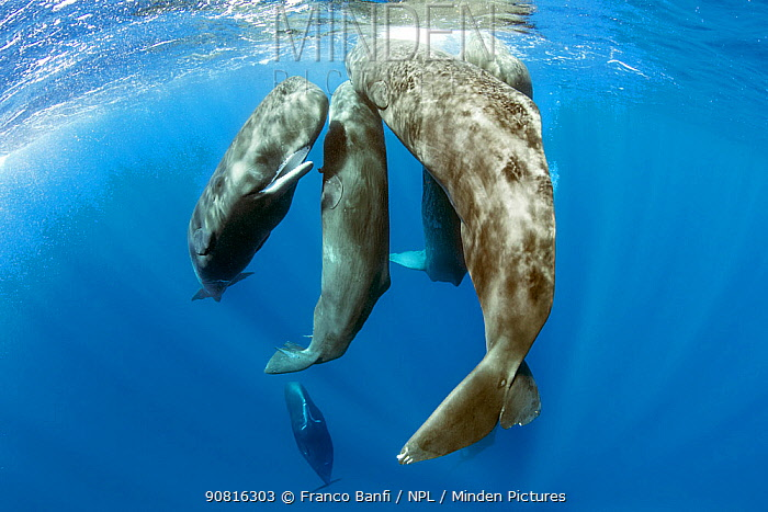 Pod of sperm whale socializing, (Physeter macrocephalus), Dominica, Caribbean Sea, Atlantic Ocean.